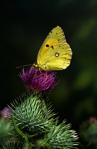 Clouded yellow butterfly (Colias crocea) on thistle flower, UK  -  Stephen Dalton