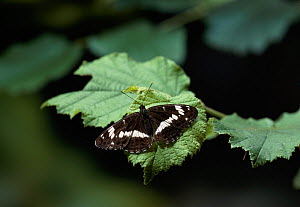 White admiral butterfly (Limenitis camilla) on leaf with wings open, UK - Stephen Dalton