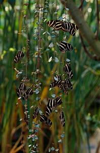 Group of Zebra longwing butterflies (Heliconius charithonia) roosting on vegetation  -  Stephen Dalton