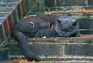 Domestic cat (Felis catus) British blue breed sleeping on stone steps with autumn leaves, UK  -  Stephen Dalton