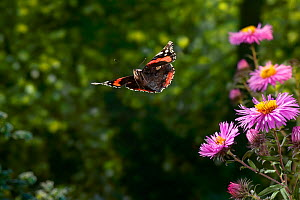 Red admiral butterfly (Vanessa atalanta) shortly after taking off from Aster flowers, UK, sequence 1/4  -  Stephen Dalton