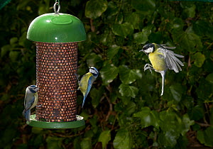 Blue tits (Parus caeruleus) feeding at nut feeder, Great tit (Parus major) flying to feeder, UK - Stephen Dalton