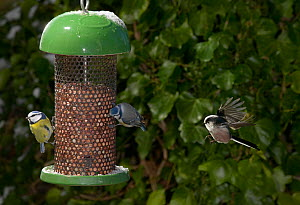Blue tits (Parus caeruleus) feeding at nut feeder, Long tailed tit (Aegithalos caudatus) flying to feeder, UK  -  Stephen Dalton