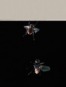 Common housefly (Musca domestica) multiflash sequence of two images showing fly landing on ceiling, touching down on front feet and cart-wheeling down on remaining two pairs of feet. - Stephen Dalton