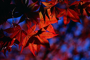 Maple (Acer sp) leaves in autumn  -  Stephen Dalton