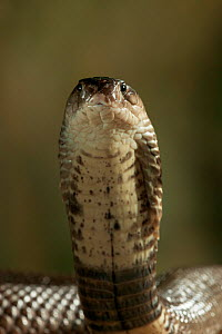 Spectacled cobra (Naja naja kaouthia) head raised in strike pose, controlled conditions  -  Stephen Dalton