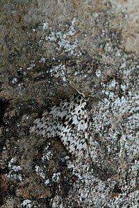 Dark arches moth (Apamea monoglypha) camouflaged on tree bark, UK - Stephen Dalton