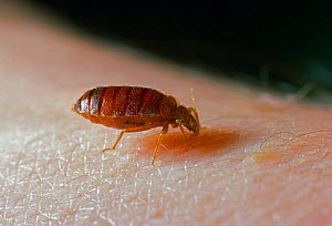 Bedbug (Cimex lectularius) feeding on human skin, UK  -  Stephen Dalton