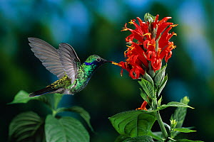 Sparkling violetear hummingbird (Colibri coruscans) in flight, feeding from flower - Stephen Dalton