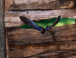 Barn swallow (Hirundo rustica) flying through gap in stable door, UK - Stephen Dalton