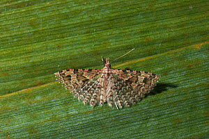 Plume moth (Pterophoridae) adult with plumed wings open, UK  -  Stephen Dalton