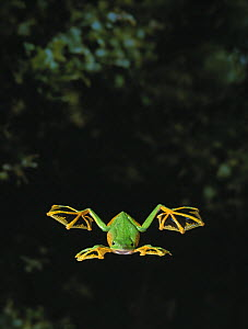 Wallace's gliding frog (Rhacophorus nigropalmatus) flying, controlled conditions  -  Stephen Dalton