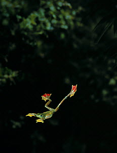 Jade tree frog (Rhacophorus dulitensis) gliding between trees, controlled conditions  -  Stephen Dalton