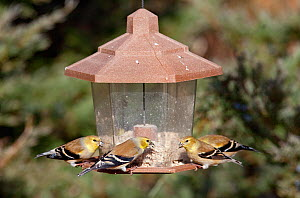 Four American goldfinches (Carduelis tristis) on seed feeder in winter, Kentucky, USA  -  David Kjaer