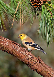 Male American goldfinch (Carduelis tristis) in winter plumage perched in pine tree, Kentucky, USA  -  David Kjaer