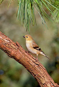 Female American goldfinch (Carduelis tristis) in winter plumage perched in pine tree, Kentucky, USA  -  David Kjaer