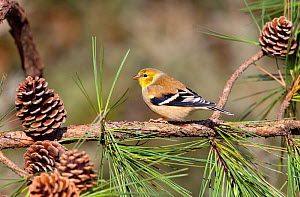 Male American goldfinch (Carduelis tristis) in winter plumage, perched in pine tree with pinecones, Kentucky, USA  -  David Kjaer