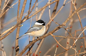 Black-capped chickadee (Poecile atricapillus) perched in branches, Maine, USA  -  David Kjaer