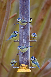 Flock of Blue tits (Parus caeruleus) and Great tit (Parus major) on Niger seed feeder, Gloucestershire, England  -  David Kjaer