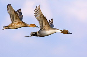 Pair of Northern pintail ducks (Anas acuta) in flight, Gloucestershire, England  -  David Kjaer