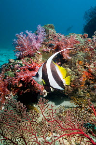 Longfin bannerfish (Heniochus acuminatus) with soft corals on reef. Andaman Sea, Thailand - Georgette Douwma