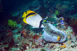 Lined butterflyfish (Chaetodon lineolatus) swimming over coral reef, sea anemone closing for defence. This is the largest species in the genus. Indonesia  -  Georgette Douwma