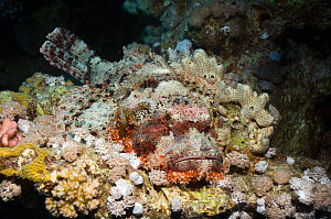 Tassled scorpionfish (Scorpaenopsis oxycephala) camouflaged on leather coral. Egypt, Red Sea - Georgette Douwma