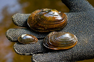 Dwarf Wedge Mussel (left), Eastern Elliptio (top), and Eastern Lampmussel (right.) found in the Ashuelot River. Keene, New Hampshire, USA, September 2006.  -  Jerry Monkman