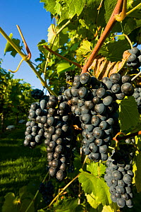 Grapevine (Vitis genus) with ripe bunches of black grapes at Candia Vineyards, New Hampshire, USA, September.  -  Jerry Monkman