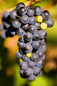 Bunch of black grapes on grapevine (Vitis genus) at Jewell Towne Vineyards in South Hampton, New Hampshire, USA, August.  -  Jerry Monkman