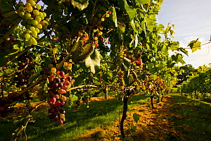 Grapevines (Vitis genus) at Jewell Towne Vineyards in South Hampton, New Hampshire, USA, August 2008.  -  Jerry Monkman