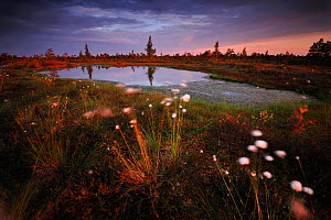 Cotton grass (Eriophorum) growing in wetland bog at sunset, Kemeri National Park, Latvia, June 2009  -  Wild Wonders of Europe / López