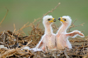 Two Steppe eagle (Aquila nipalensis) chicks in their nest. Cherniye Zemli (Black Earth) Nature Reserve, Kalmykia, Russia, May 2009  Wild Wonders kids book.  -  Wild Wonders of Europe / Shpilenok