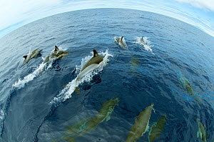 Common dolphins (Delphinus delphis) surfacing, Fisheye lens. Pico, Azores, Portugal, June 2009  -  Wild Wonders of Europe / Lundgre