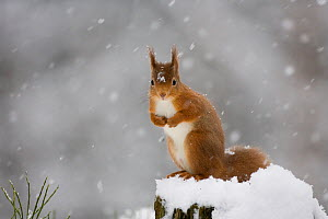 Red squirrel (Sciurus vulgaris) sitting on snow covered tree stump, Glenfeshie, Cairngorms NP, Scotland, February 2009 - Peter Cairns
