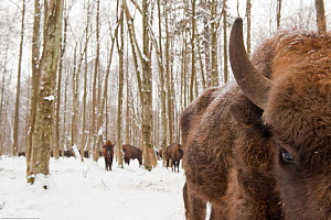 European bison (Bison bonasus) gathering at feeding site, Bialowieza NP, Poland, February 2009  -  Wild Wonders of Europe / Unterthiner