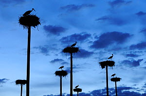 RF- White storks (Ciconia ciconia) nesting on poles erected by the city of Caceres in Extremadura, Spain, to compensate for the removal of an old farmhouse supporting a colony of storks. - Wild  Wonders of Europe / Widstrand