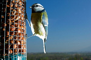 Blue tit (Parus caeruleus) feeding from peanut feeder. Switzerland. - Laurent Geslin