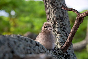 Fairy / White tern chick (Gygis alba) perching in tree, Ducie Island, Pitcairn Island Group, South Pacific. October  -  Sue Flood