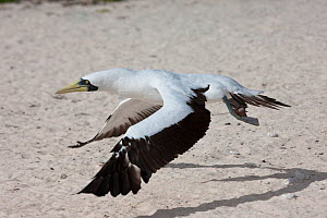 Masked booby (Sula dacylatra) taking off, Henderson Island, Pitcairn Island, South Pacific. October  -  Sue Flood