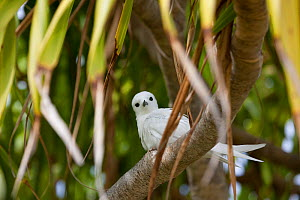 Fairy / White tern (Gygis alba) perching in tree, Henderson Island, Pitcairn Island, South Pacific. October  -  Sue Flood