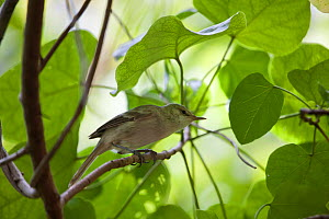 Henderson Island warbler (Acrocephalus taiti) perching in branches of tree, Pitcairn Island, South Pacific. October  -  Sue Flood