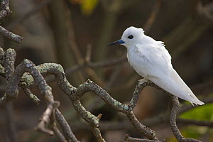 Portrait of Fairy / White tern (Gygis alba) Henderson Island, Pitcairn Island, South Pacific. October  -  Sue Flood