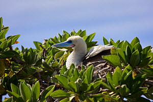 Red-footed booby (Sula sula) in tree, Ducie Island, Pitcairn Island Group, South Pacific. October  -  Sue Flood