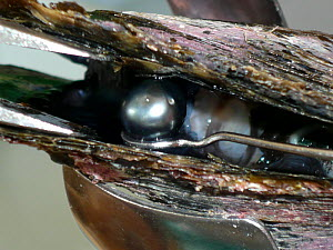 Removing cultured black pearl from Oyster (Lophia folium) shell, Rangiroa atoll, French Polynesia.  -  Sue Flood