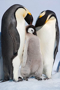 Family portrait of Emperor penguin (Aptenodytes forsteri) parents and chick at Snow Hill Island rookery, Weddell Sea, Antarctica, November  -  Sue Flood