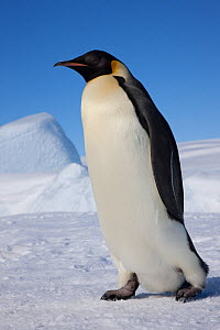 Emperor penguin (Aptenodytes forsteri) walking across ice, Snow Hill Island rookery, Weddell Sea, Antarctica, November  -  Sue Flood