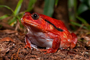Tomato frog (Dyscophus antongilii) in marsh habitat. Near Maroantsetra, north east Madagascar.  -  Nick Garbutt