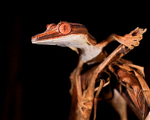Lined Leaf-tailed Gecko (Uroplatus lineatus) head portrait. Active in forest understorey at night. Masoala National Park, Madagascar. - Nick Garbutt
