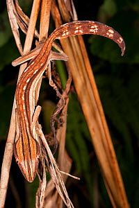 Lined Leaf-tailed Gecko (Uroplatus lineatus) climbing vine stem. Active in forest understorey at night. Masoala National Park, Madagascar. - Nick Garbutt
